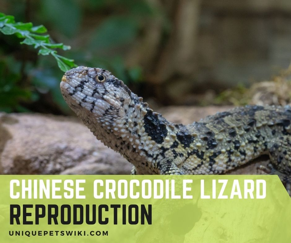 Chinese crocodile lizard reproduction