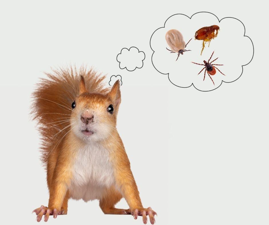 Do Squirrels Carry Fleas?
