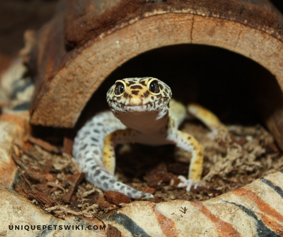 Inappropriate enclosure size and set up can make leopard geckos happy and unhappy