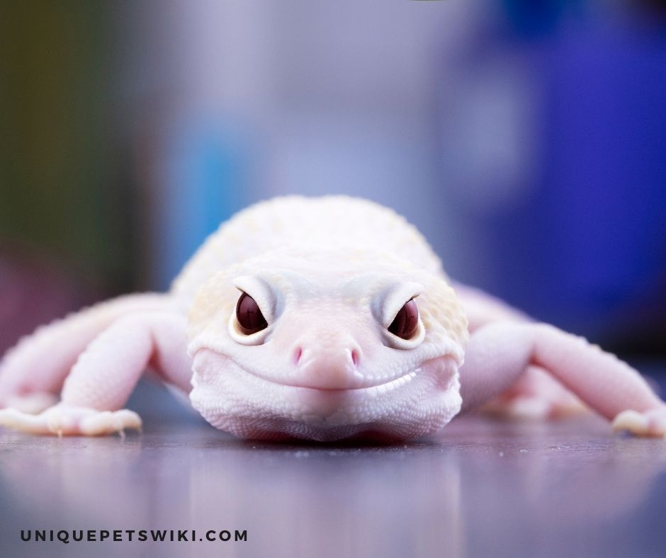 How To Tell If Leopard Geckos Are Happy Or Not?