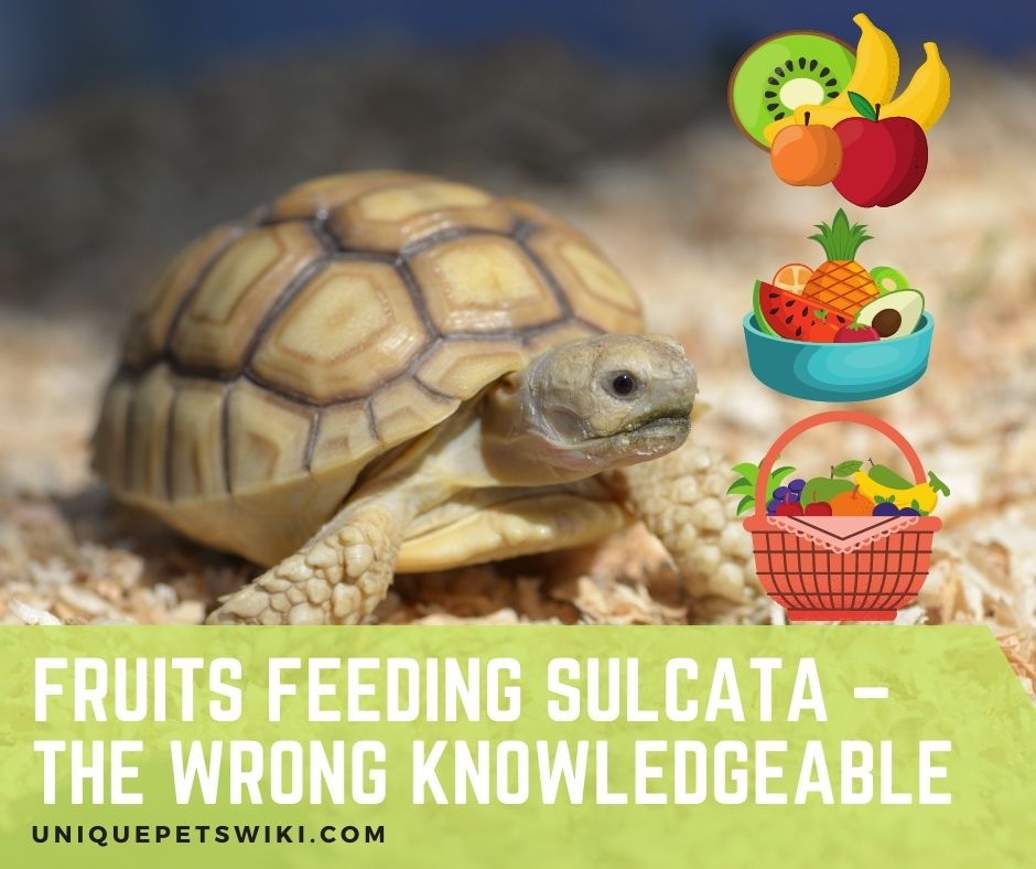 Fruits Feeding Sulcata Knowledge Is Important