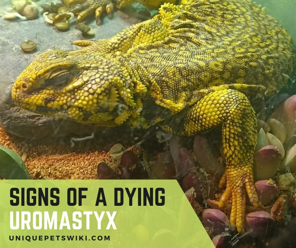 08 Signs Of A Dying Uromastyx