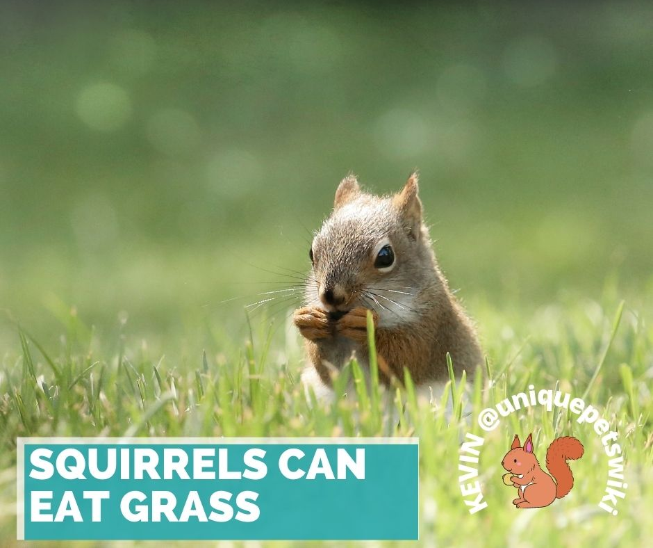 Can Squirrels Eat Grass? Yes, Squirrels can eat grass