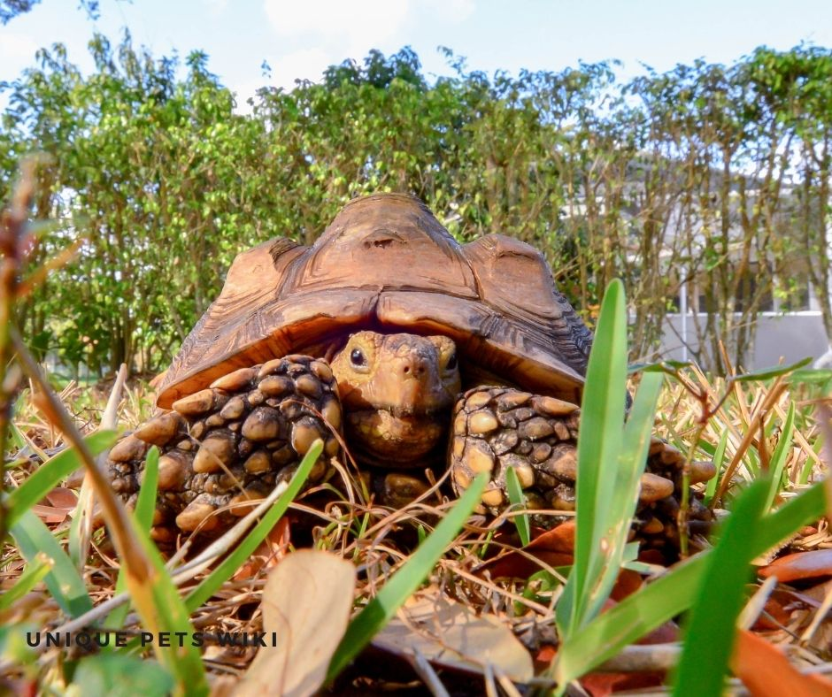 pet sulcata kept outdoors