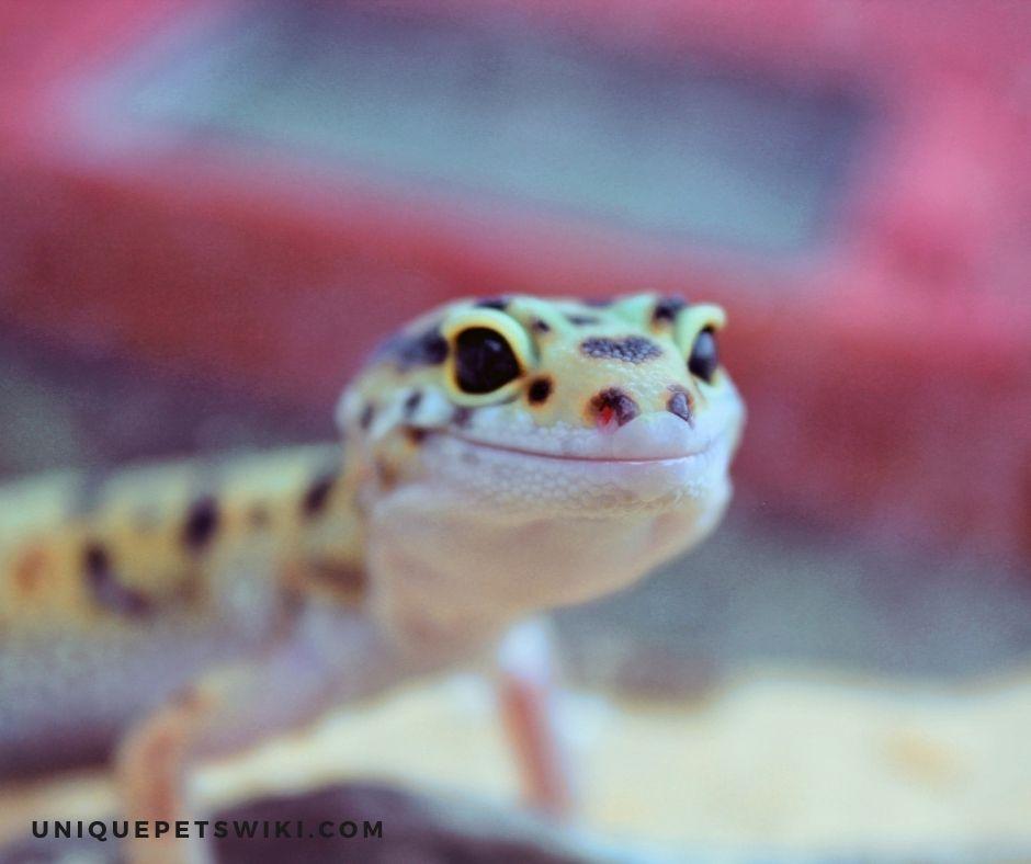 What makes leopard geckos smile?