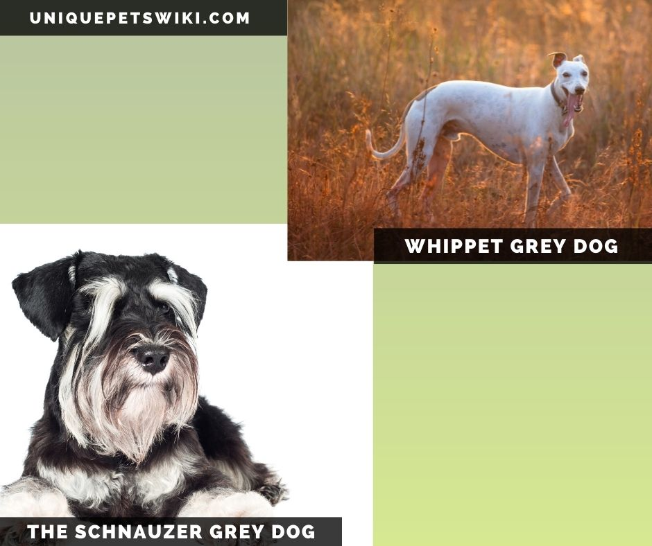The Whippet and Schnauzer small grey dogs