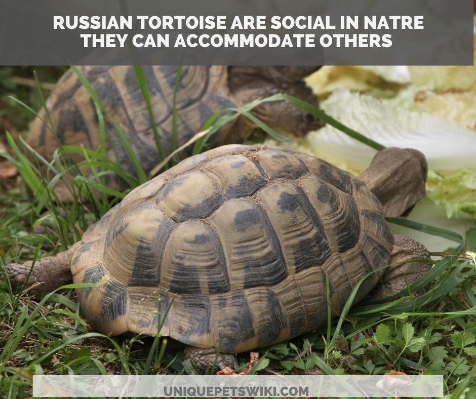A pair of Russian tortoise
