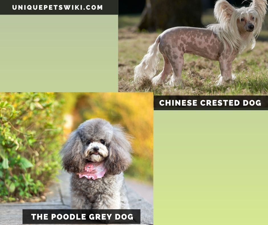 The Chinese Crested Dog and poodle grey dogs