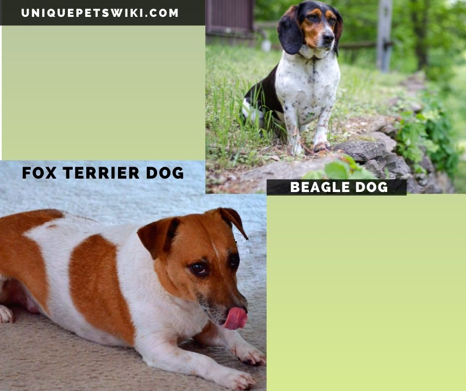 The Beagle and Fox Terrier small hunting dog breeds