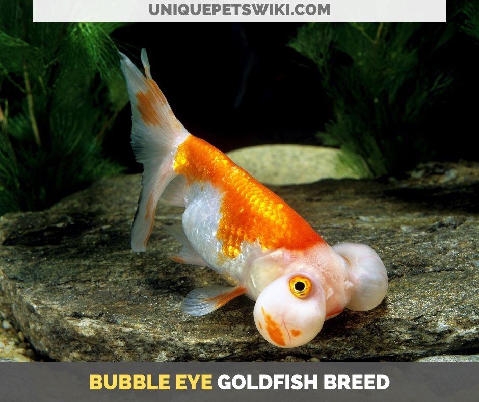 Bubble Eye goldfish breed