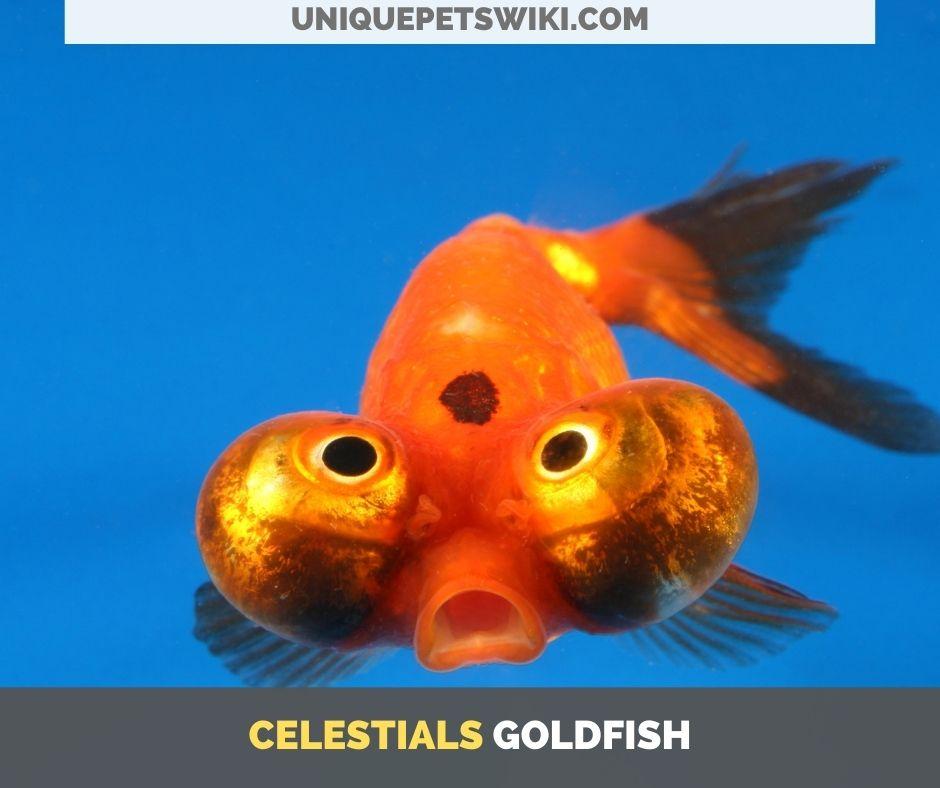 Celestials small goldfish breed
