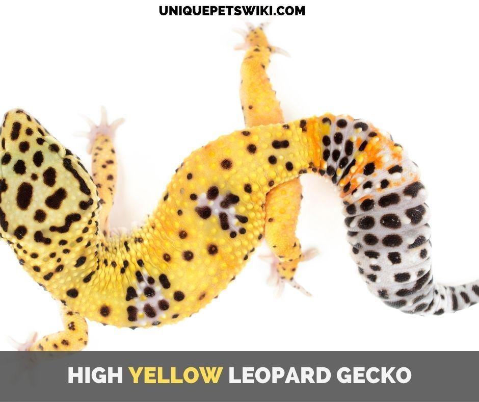 High Yellow Leopard Gecko