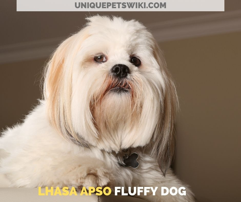 Lhasa Apso fluffy dog