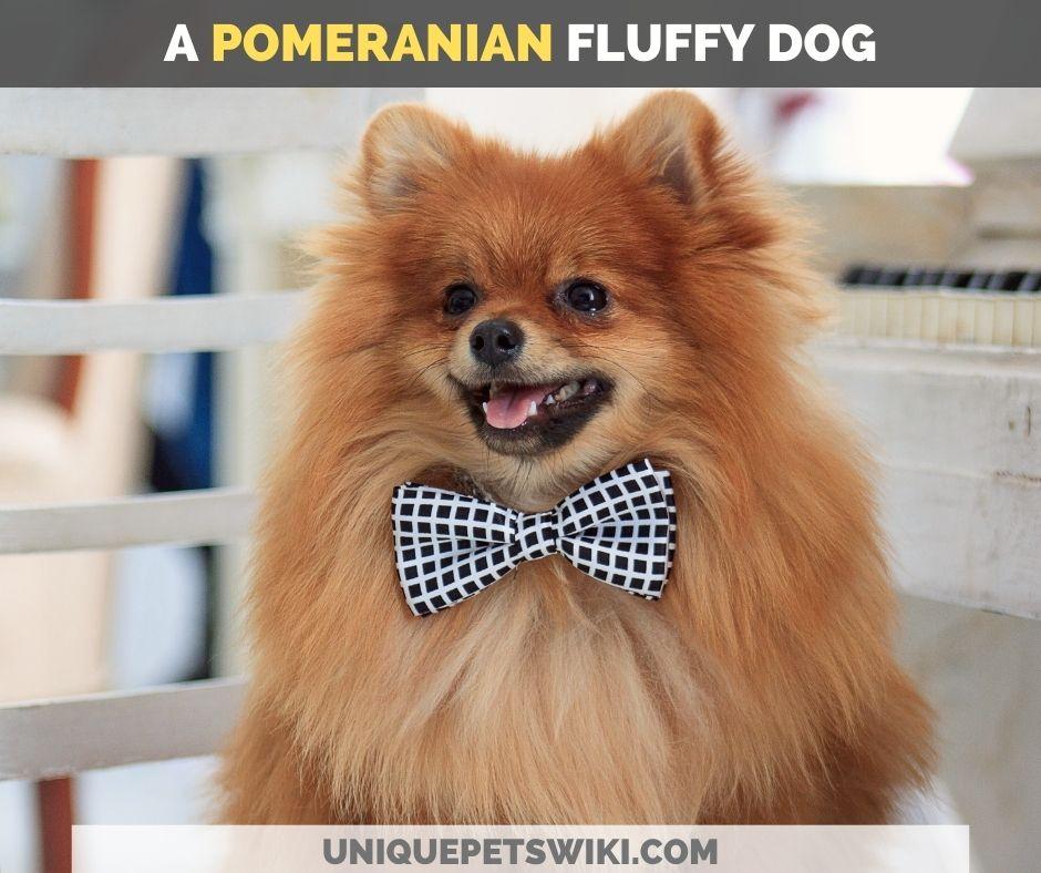 Pomeranian fluffy dog