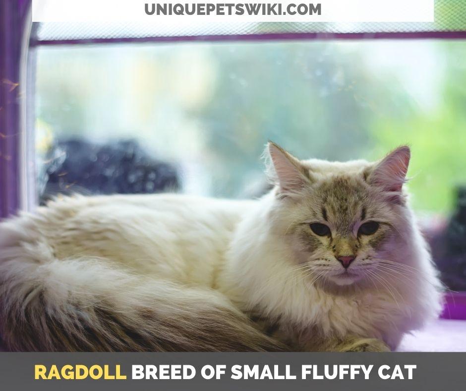 Ragdoll breed of small fluffy cat