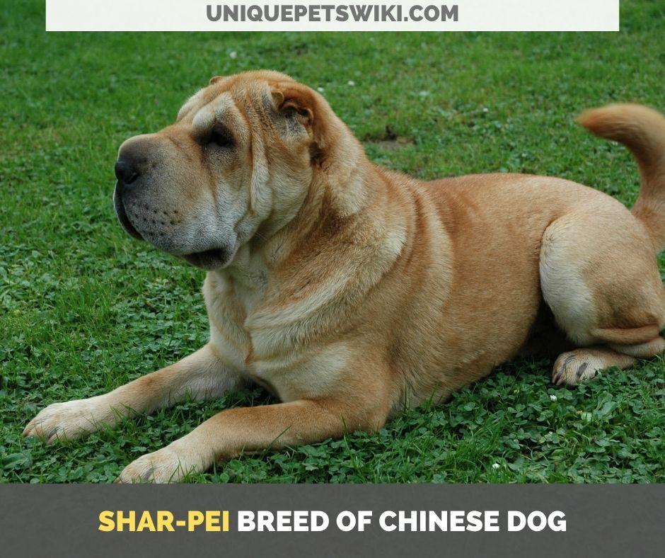 Shar-Pei breed of Chinese dog