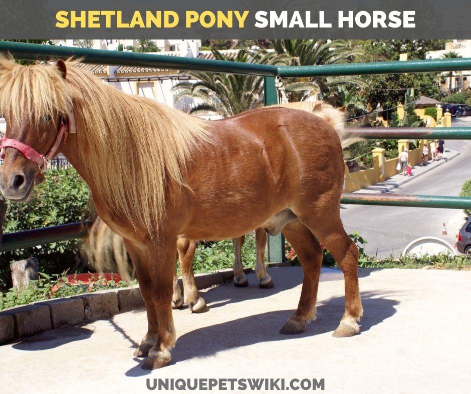 Shetland Pony small horse