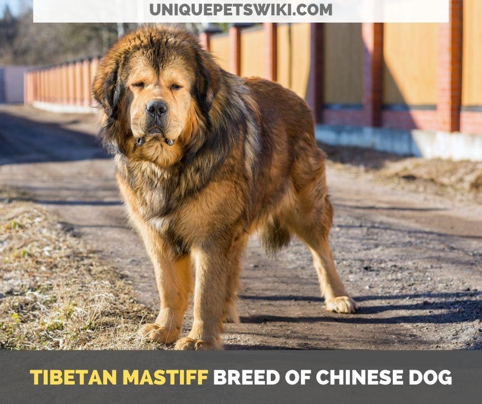 Tibetan Mastiff breed of Chinese dog