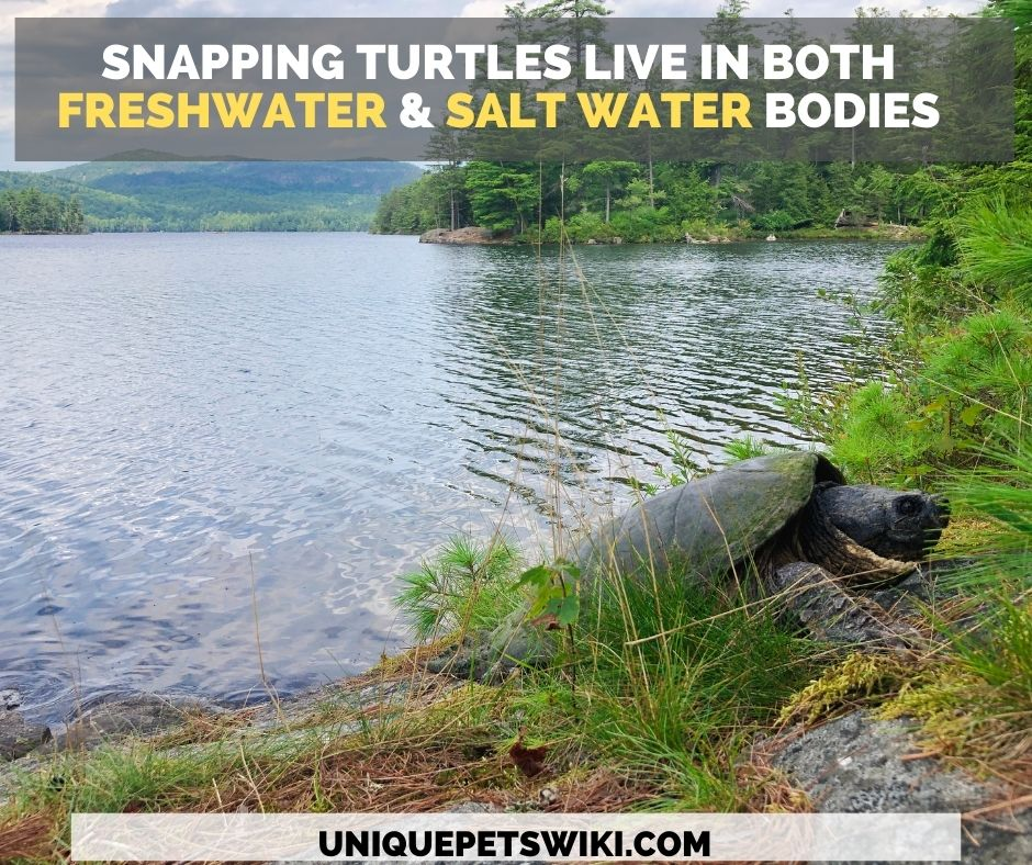 Snapping turtles can be found in both freshwater and salt water streams, ponds, lakes, and creeks.