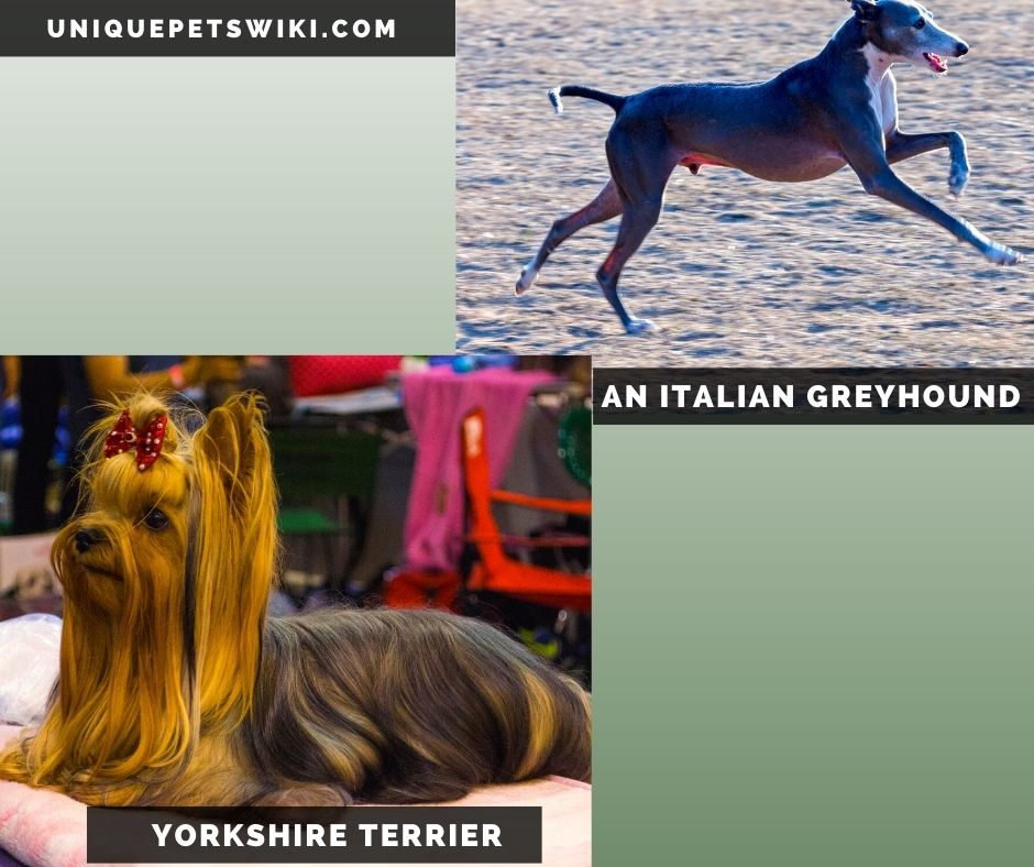 Italian Greyhound and Yorkshire Terrier small grey dog breeds