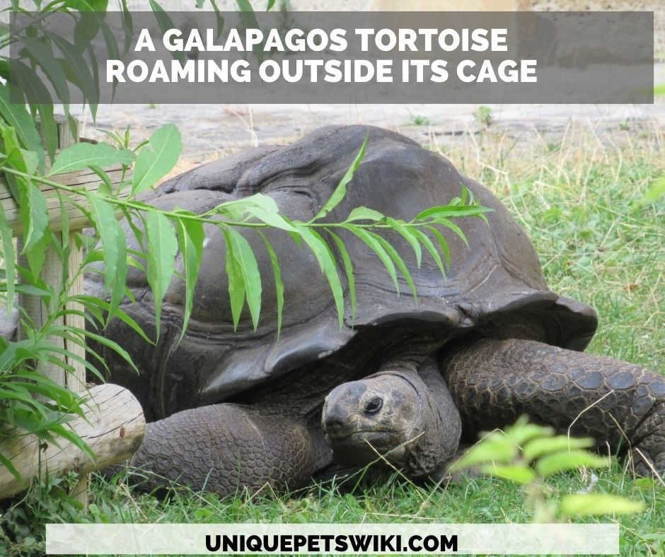 A Galapagos Tortoise