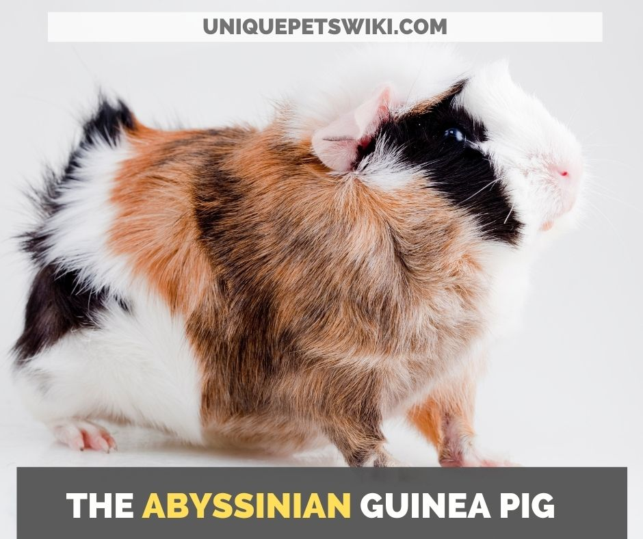 the abyssinian guinea pigthe