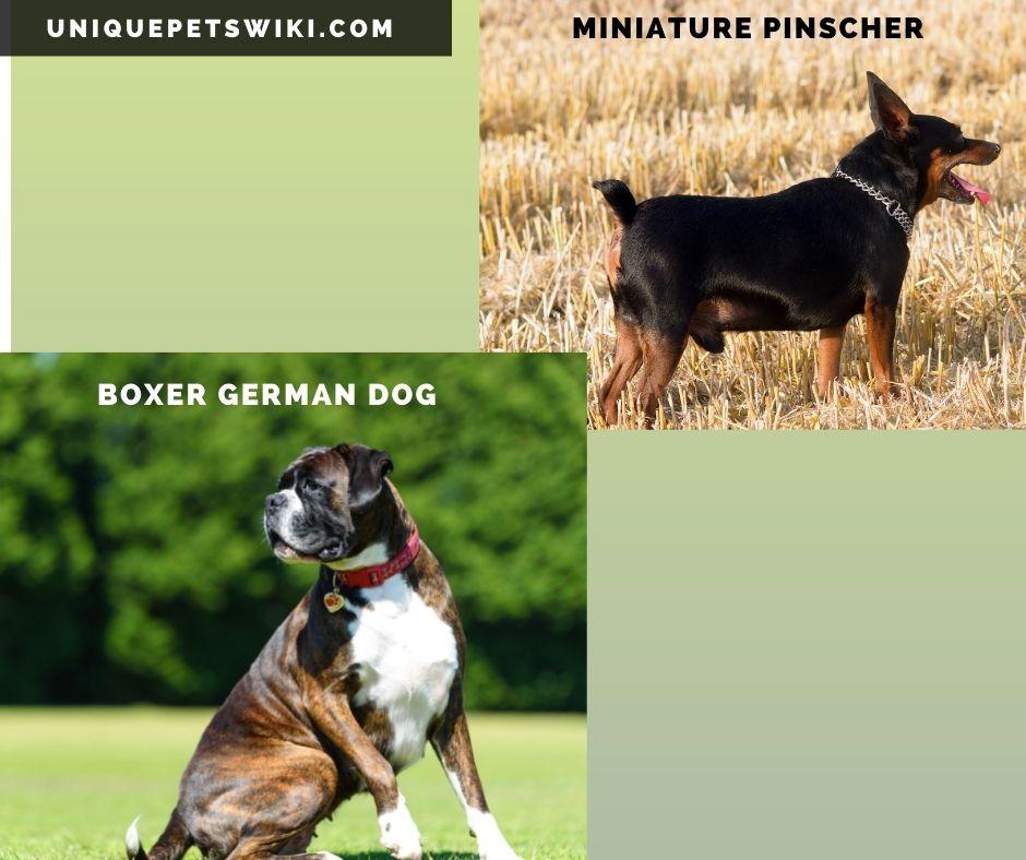 Miniature Pinscher and Boxer German dog