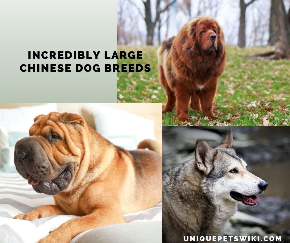 large Chinese dog breeds