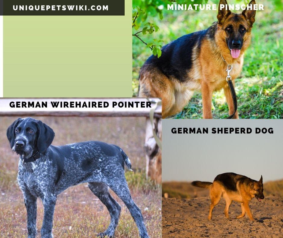 German Shepperd, German Wirehaired Pointer, and Miniature Pinscher