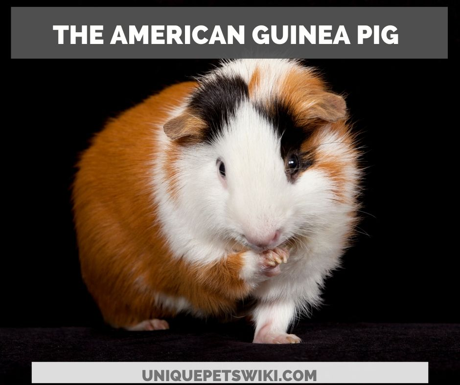 the American guinea pig
