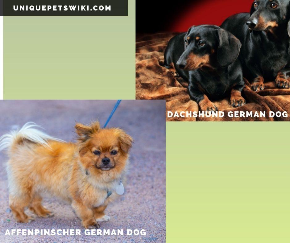 Affenpinscher and Dachshund German dog breeds
