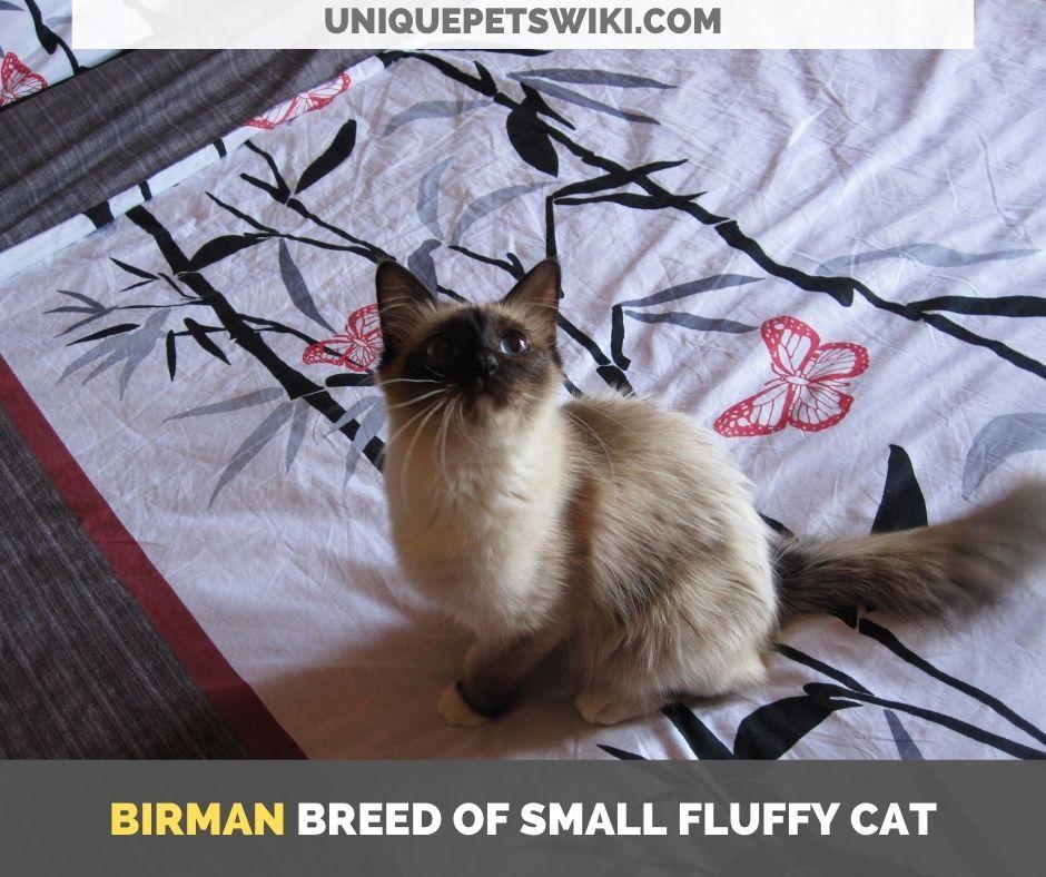 Birman breed of small fluffy cat