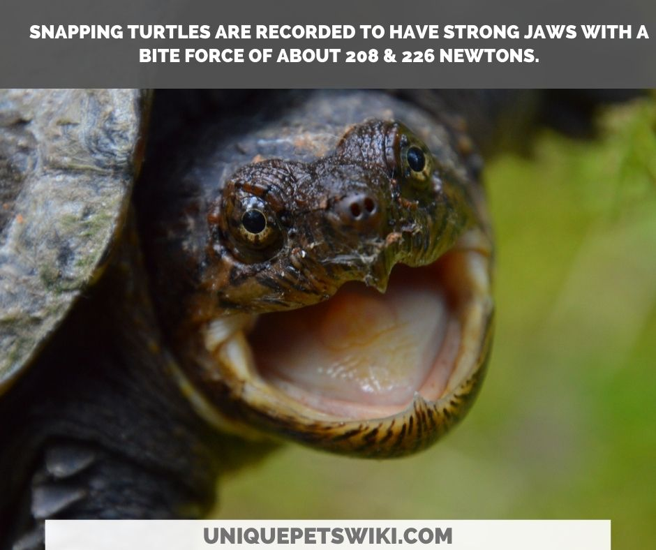 snapping turtle bite force