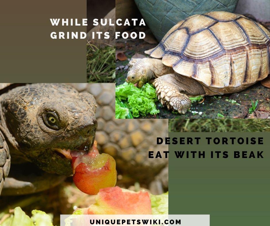 how sulcata and desert tortoises eat
