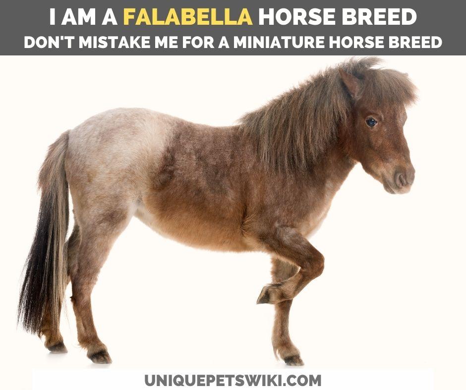 falabella horse breed