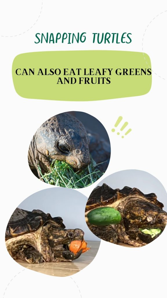 Snapping turtles also eat fruits and vegetables in the wild and these foods should be replicated in captivity