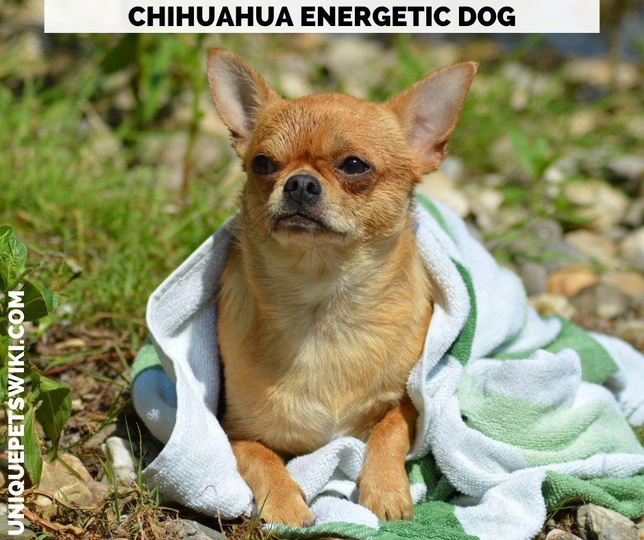 Chihuahua energetic dog