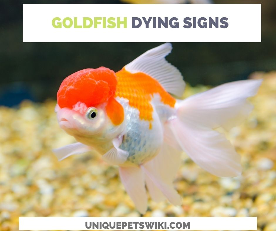 15 Signs Of A Dying GoldFish