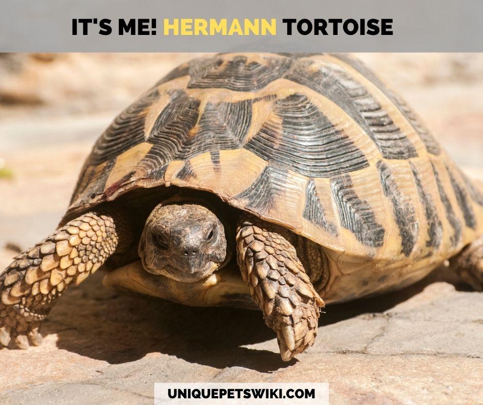 An adult Hermann tortoise