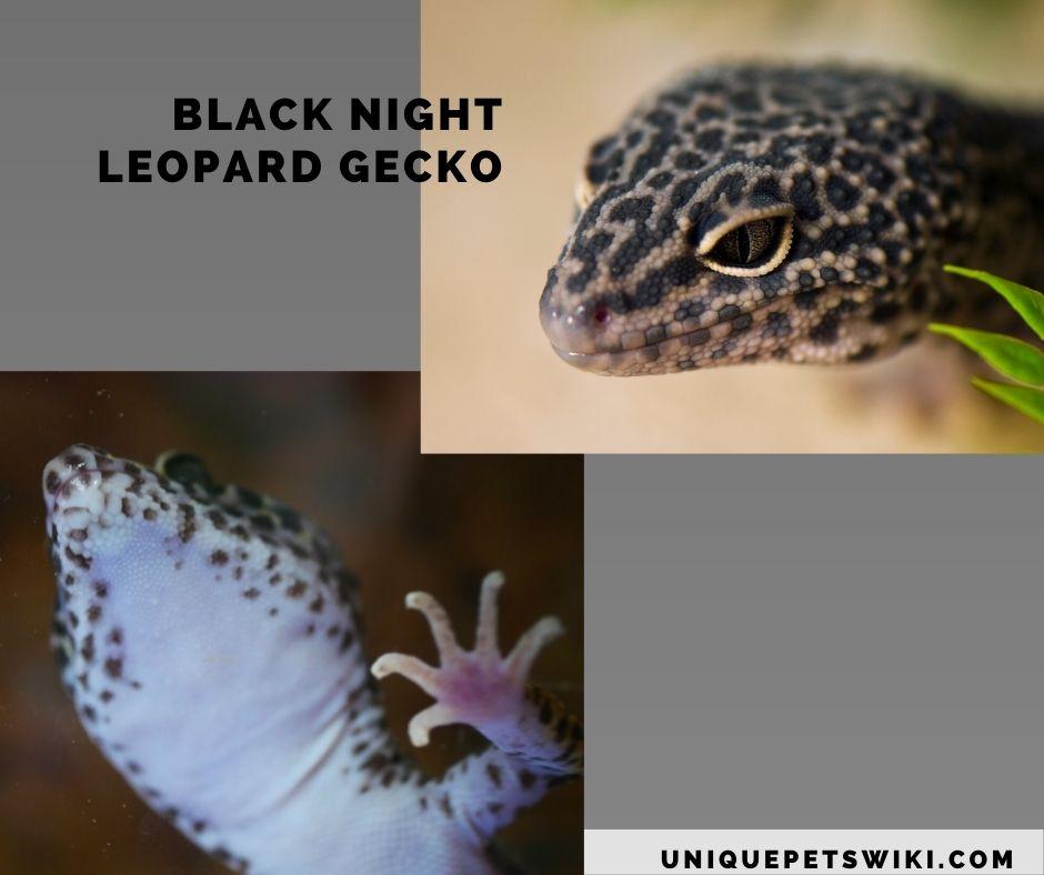 Black Night Leopard Gecko morphs