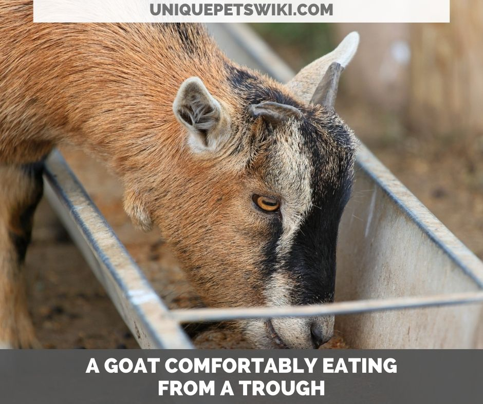 a goat eating from a trough
