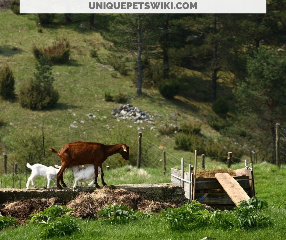 goats browsing and grazing