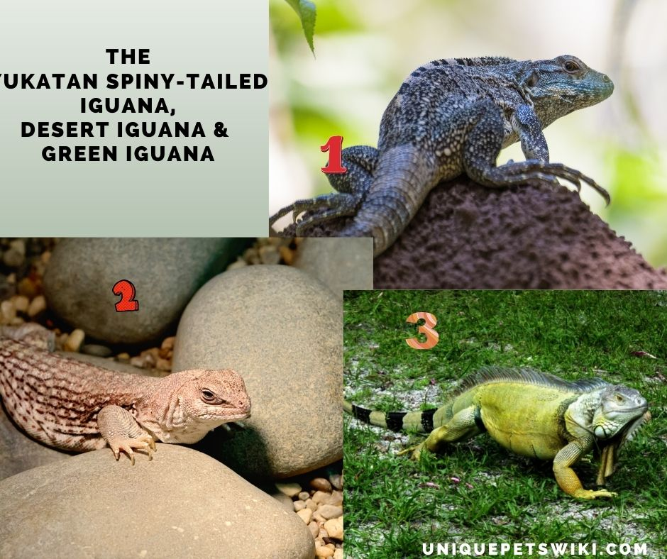 different breeds of small iguana pets