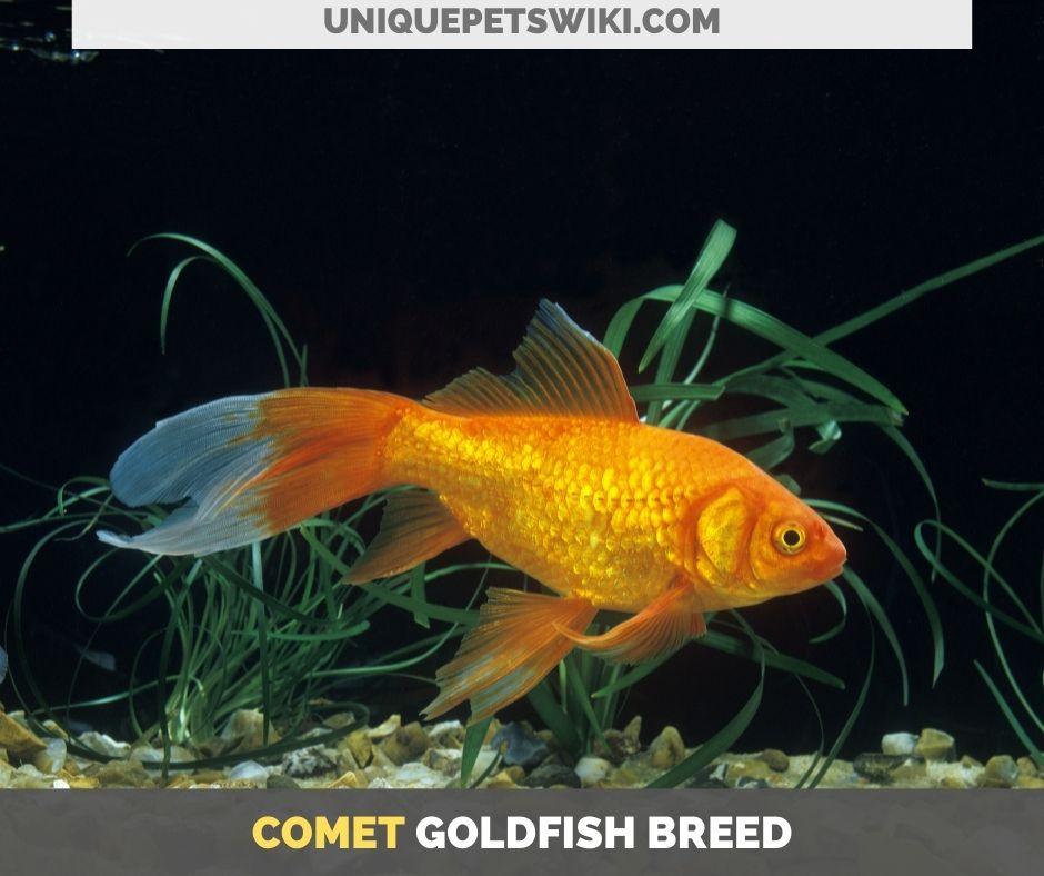 Comet goldfish breed