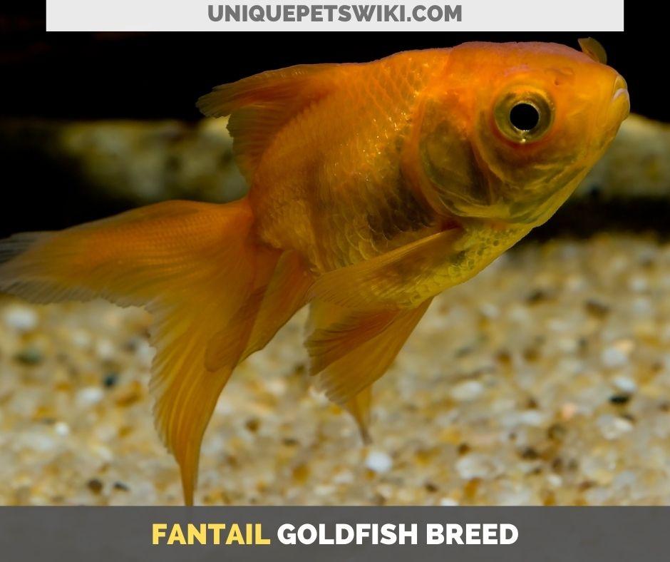 Fantail goldfish breed