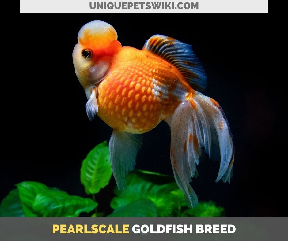 Pearlscale goldfish breed