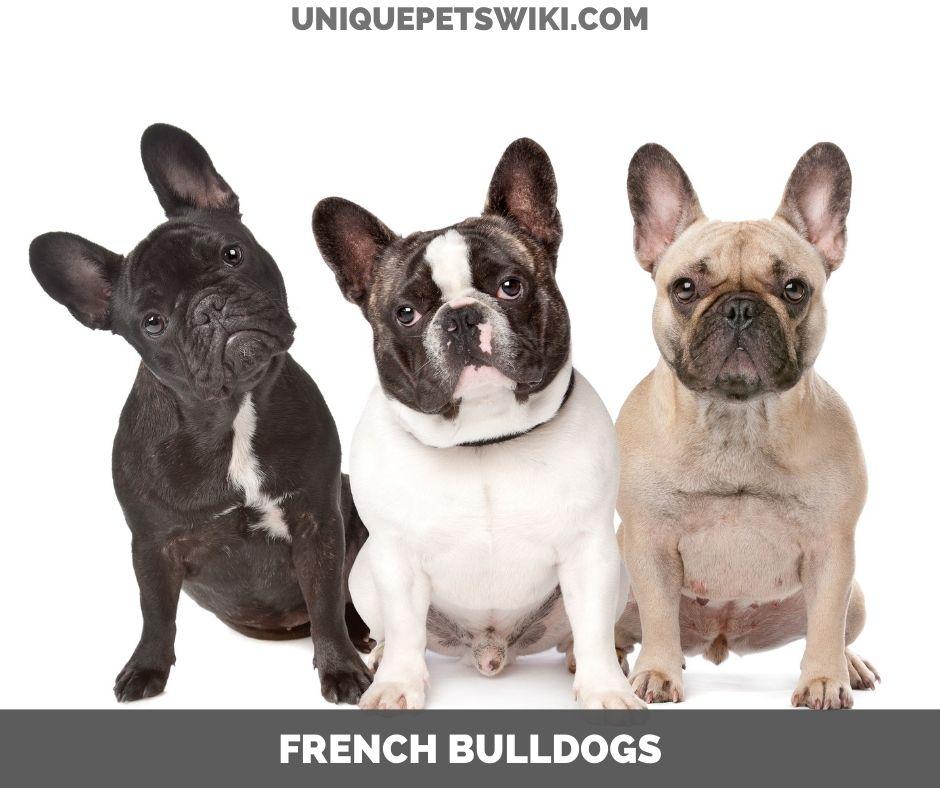 French Bulldog small dog breeds
