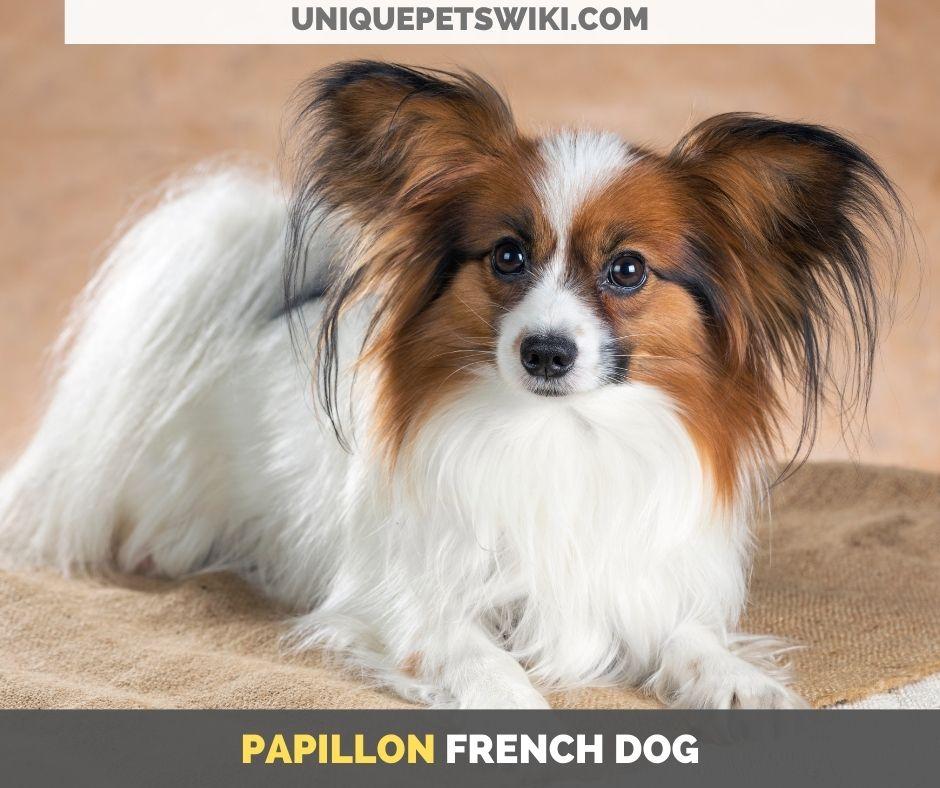 Papillon French dog