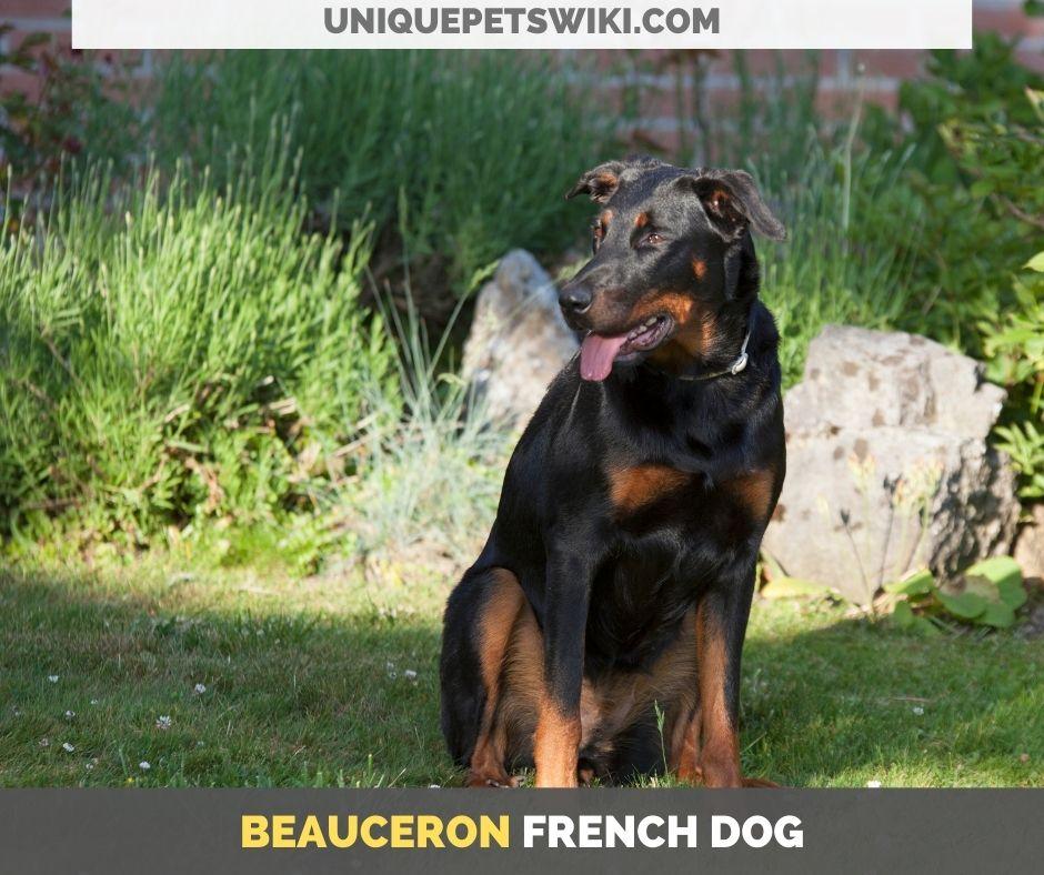 Beauceron French dog
