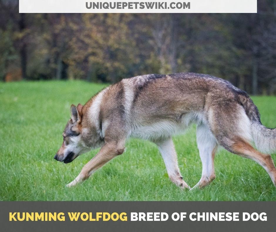 Kunming Wolfdog breed of Chinese dog